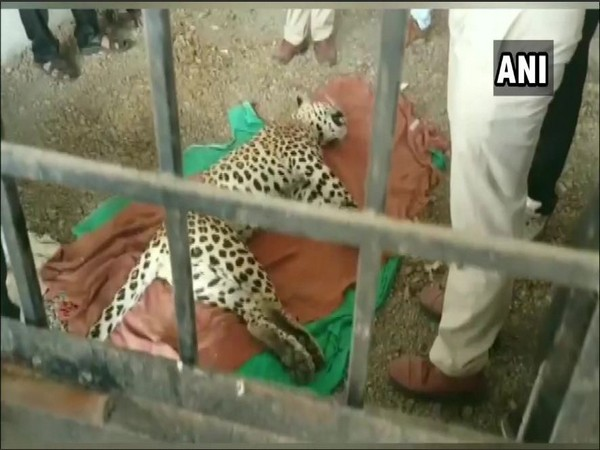 The leopard which was caught and killed by the villagers. Photo/ANI