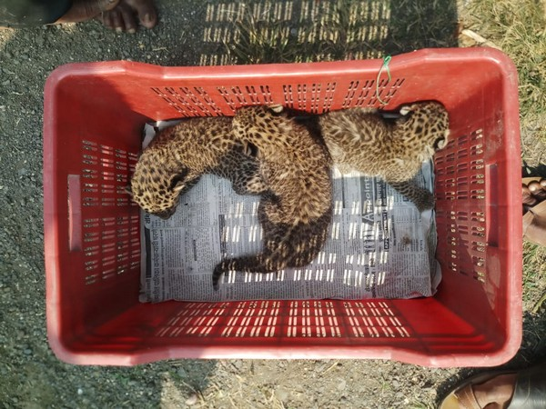 The 3 leopard cubs rescued by Wildlife SOS team in Pune.