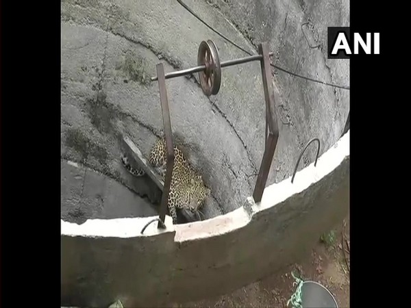 The leopard which fell into the well in Runvad village of Chhota Udepur district, Gujarat.