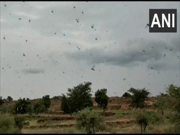 Swarms of locust attacked Sarmathura area of Dholpur district in Rajasthan, creating panic among farmers.
