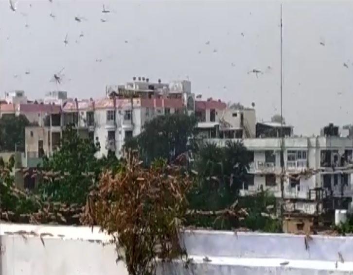Swarms of locusts entered Prayagraj on Thursday. Photo/ANI