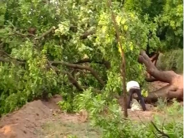 Many trees fell down in the region due to thunderstorms. Photo/ANI