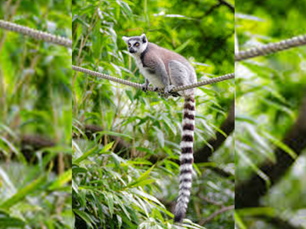 According to a study, the eastern rainforests of Madagascar are under the threat of elimination by the year 2070