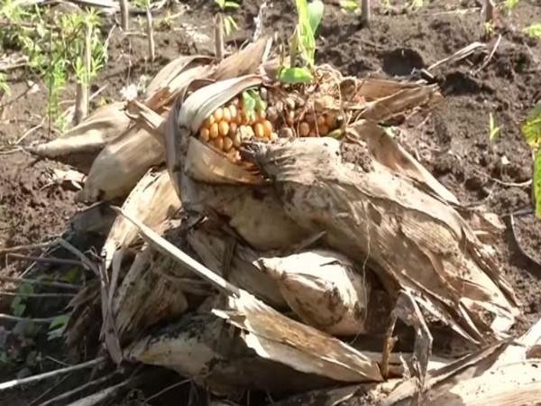 Heavy rainfall damages crops in Maharashtra. Photo/ANI