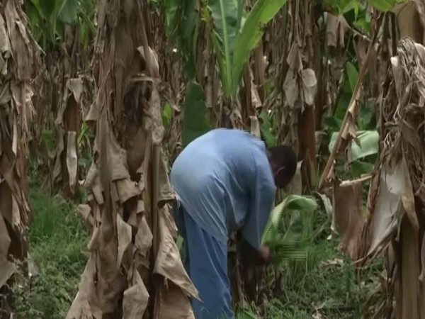 A mentally-ill pateint cultivating bananas in the Regional Mental Hospital in Nagpur. Photo/ANI