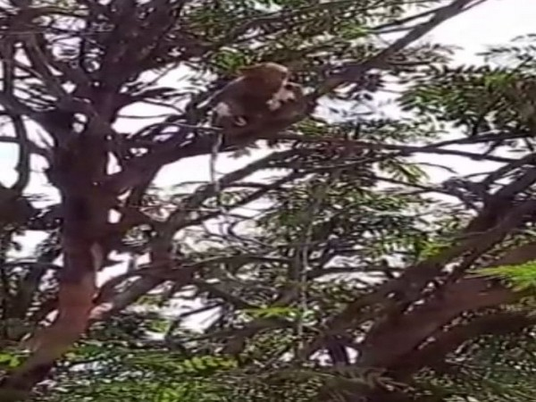 Visual of a monkey chewing on samples it stole from the technician in Meerut. Photo/ANI
