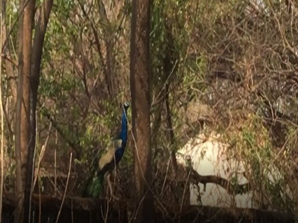 Around 70 to 80 peacocks roam over here, said Deepak Kulkarni, a resident of Meri Colony, Nashik.