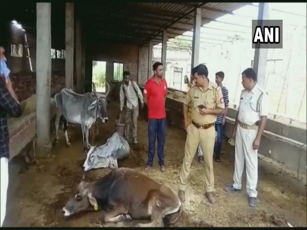 Jalalabad cow shelter in UP's Kannauj district