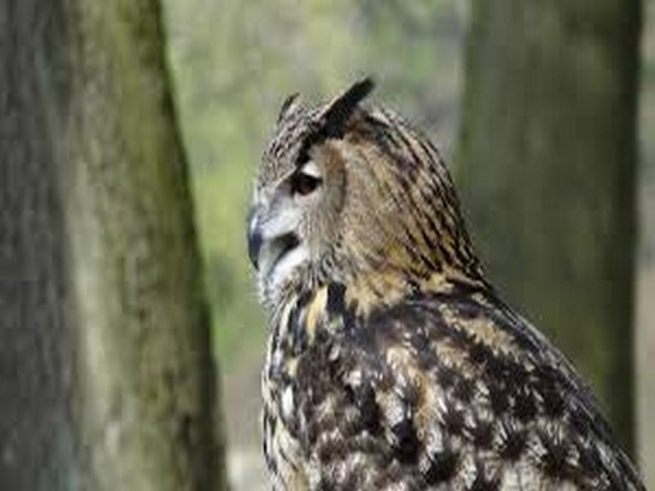 The hunting and trading of owl species are banned under the Wildlife (Protection) Act 1972 of India.