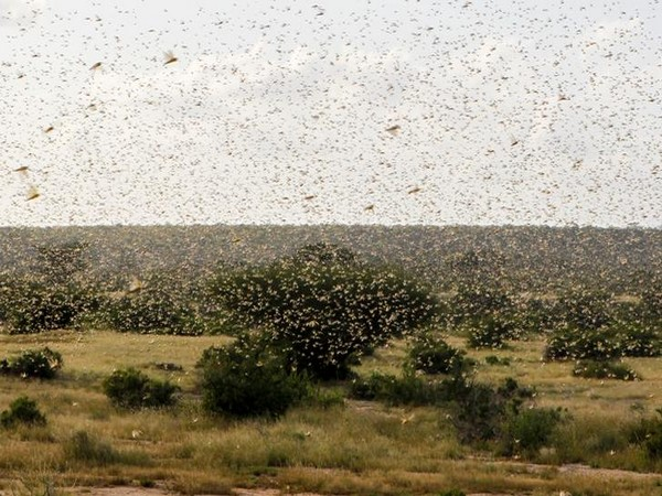 Swarms of desert locusts at a field (representative image)