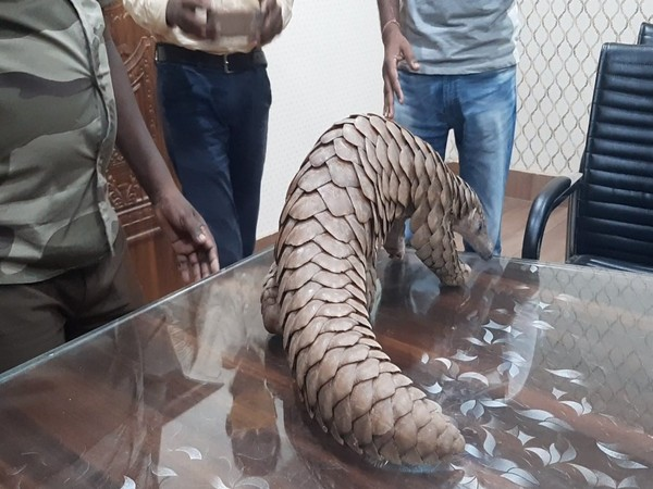 Pangolin rescued by Athagarh Forest Division team in Cuttack. (Photo/ANI)