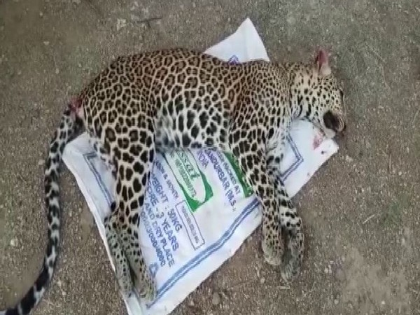 The body of the big cat was first spotted by a team of Larsen and Toubro, which was patrolling the national highway.
