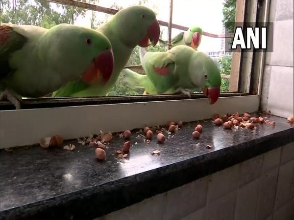 Parrots at Radhika Sonawane's house. (Photo/ ANI)