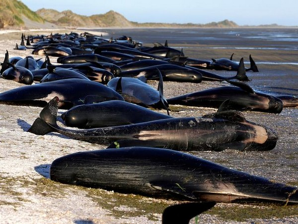 File photo of stranded whales in New Zealand