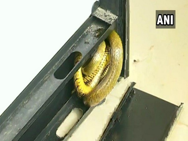 A five-foot-long rat snake was rescued from Jayanagara police station in Shivamogga on Saturday. Photo/ANI