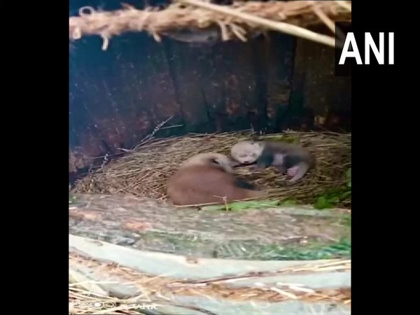 Newborn red pandas at Darjeeling zoo. (Photo/ANI)