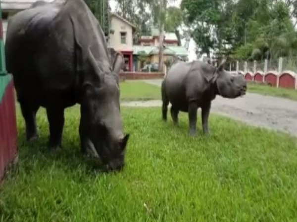 Female rhinoceros, her child spotted in the residential area of Myung, Morigaon district