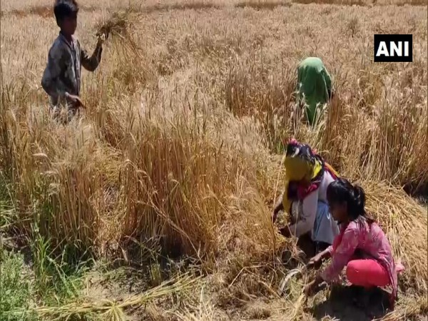 Family members of farmers harvesting crop in Rohtak. Photo/ANI