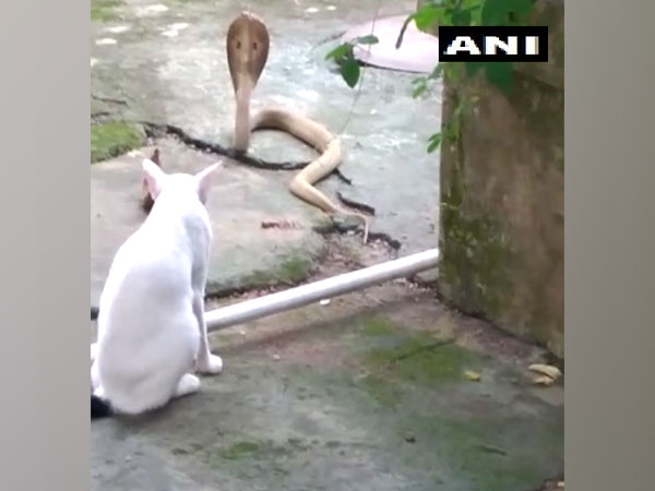 The cat standing guard, not allowing the cobra to enter the house. (Photo/ANI)