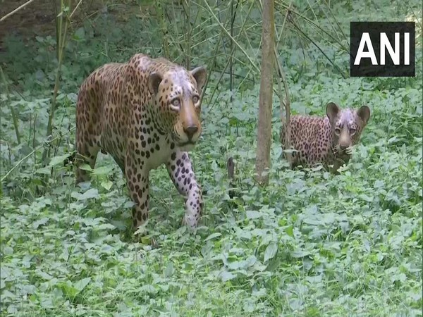 Replicas of leopard in Anand Van of Dehradun (Photo/ANI)