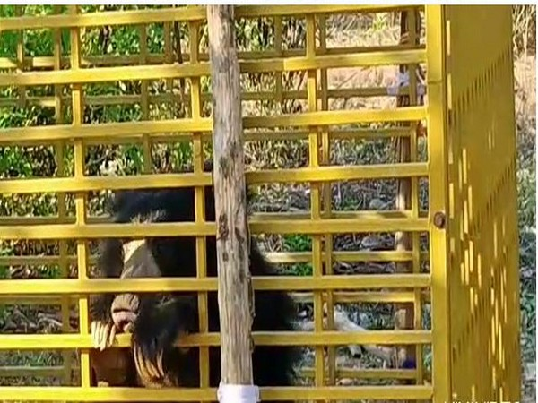 Sloth bear trapped in cage in Erramukkam village in Andhra Pradesh. Photo/ANI
