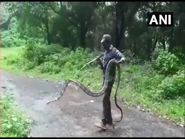 A 15-feet-long King Cobra was rescued from Narasipuram village in Thondamuthur, Coimbatore by Forest Department today. (Photo/ANI)