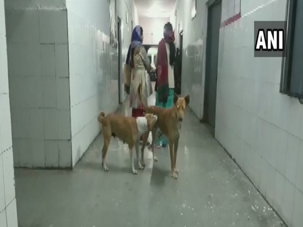 Stray dogs were seen roaming in the emergency ward of Community Health Center, Puranpur in Pilibhit on Friday. (Photo/ANI)