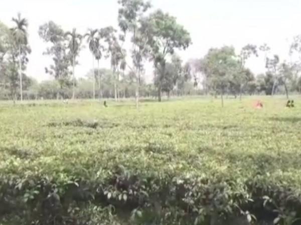 A tea garden in Kishanganj.