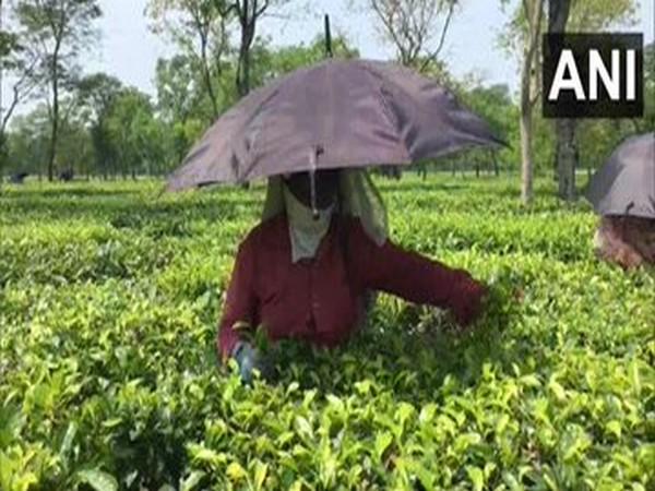 Tea plucking has begun in Dagapur Tea Estate in Siliguri with 50 per cent workforce. (ANI)
