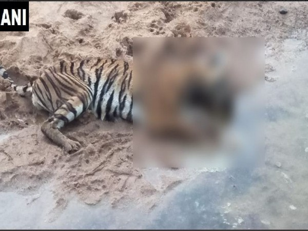 A tigress was found dead in Chandrapur district on Wednesday morning. Photo/ANI