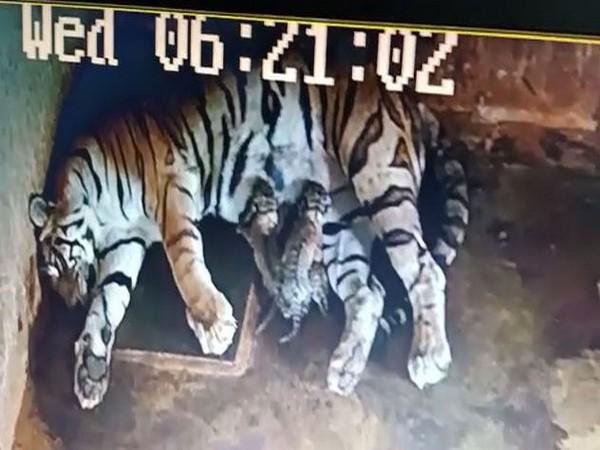 Royal Bengal tigress Megha with her cubs