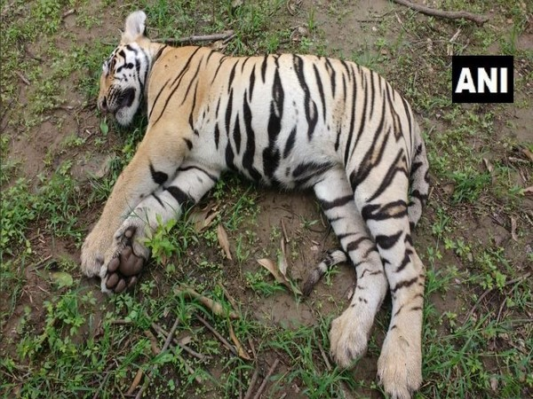 Tigress and her two cubs found dead in Chimur Forest area of Chandrapur. Photo/ANI