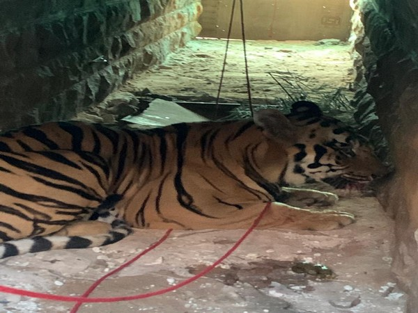 The tiger had killed eight people so far. (Photo/ANI)