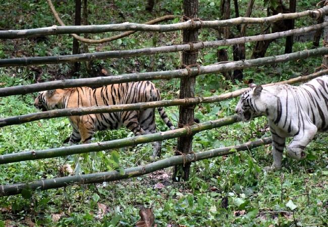 The two Tigresses Rika and Kika at Bengal Safari Park in Siliguri (File Photo)