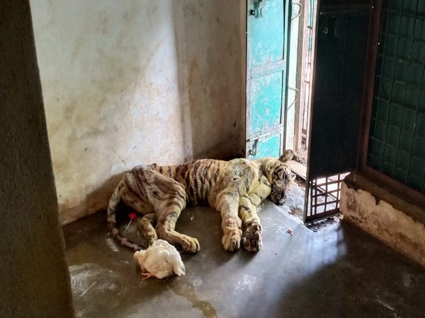 Tigress (T-23) that died at Bandhavgarh National Park in Umaria district of Madhya Pradesh. Photo/ANI