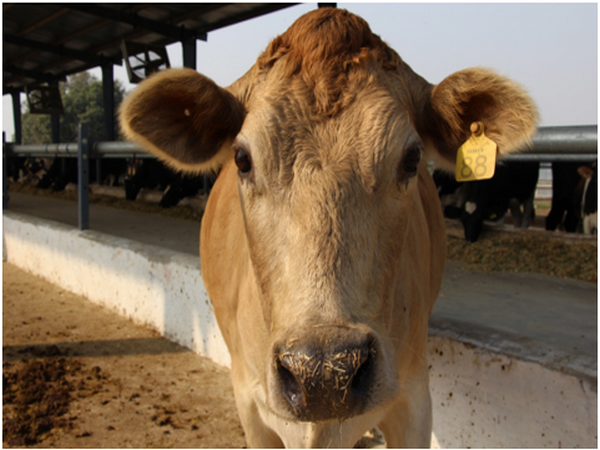 The India Dairy Campaign Report by World Animal Protection has been released today