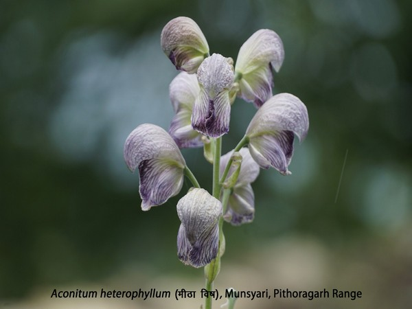Aconitum heterophyllum, one of the plants conserved and documented in Uttarakhand.