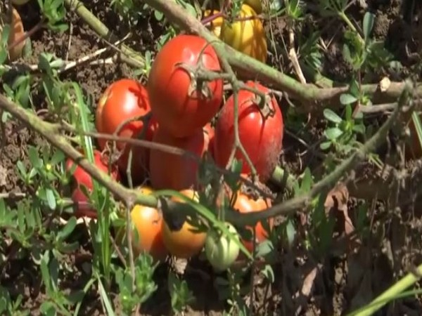 Hybrid seeds offer an increased produce in the region. Photo/ANI