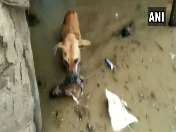 The mother dog rescuing her pup from flooded areas. (Photo/ANI)
