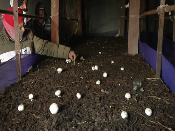 Mushroom being cultivated at the Development Centre in J-K's Poonch. (Photo/ANI)