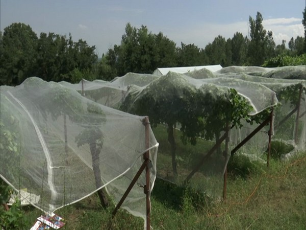New bowler and netting system will protect the grapes from damage during bad weather. (Photo/ANI)