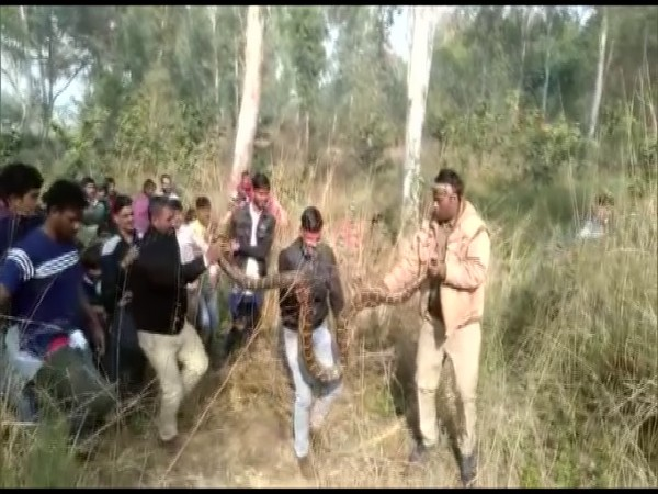 Forest department rescues Python in UP's Alighar (Photo/ANI)