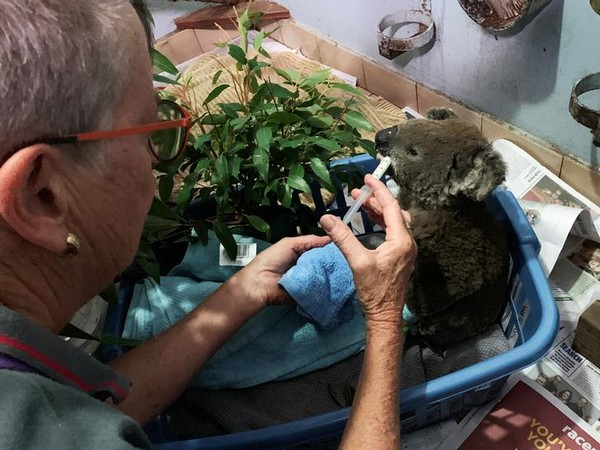 A burnt koala rescued from Lake Innes Nature Reserve receiving formula at a hospital ICU in Port Macquarie, Australia on Nov 7 (Photo/Reuters)