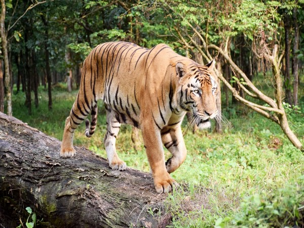 A tiger in Bengal Safari Park